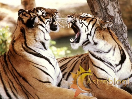 Bangal-Tiger-Couple-tigers-1280×960