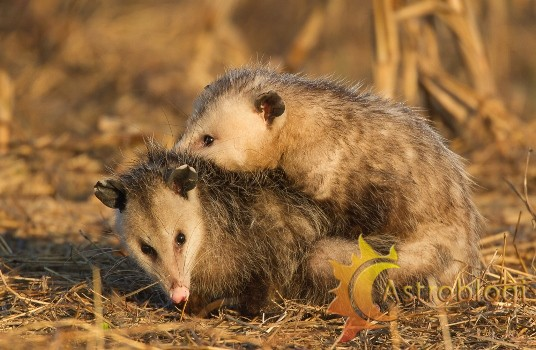 opossums-mating-2