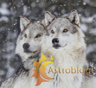 Two-Wolves-Oct-29-2013-2