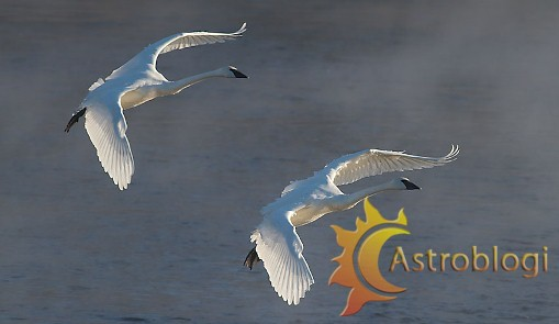 trumpeter-swans-2-flying-backlit-monticello-mn-img_0073469